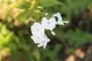 phlox-wince-