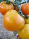 tomatentros-wince-